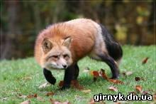 В Красноармейске появилась бешеная лиса